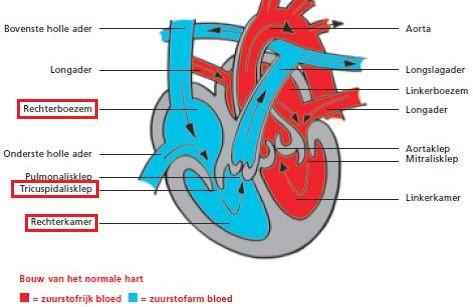 Bouw van het normale hart